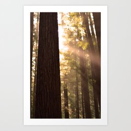 Sunbeams Through Redwoods - San Francisco, California Art Print