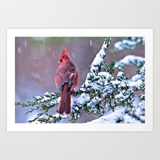 Winter Returns for the Cardinal Art Print