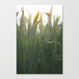 The Corns. Canvas Print