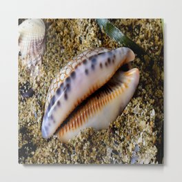 gastropod cowry shell mollusc Metal Print