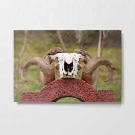 Large ram antlers on skull Metal Print