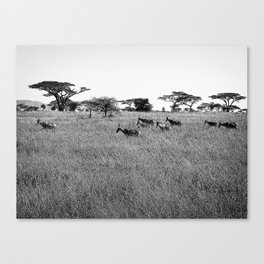 Impala in the grass Canvas Print