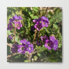 Notch-Leaved Phacelia - Desert Wildflower Metal Print