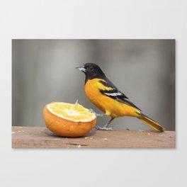 Baltimore Oriole Male on Orange Canvas Print