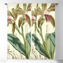 Cattleya bicolor Curtis 82 4909 (1856) Blackout Curtain