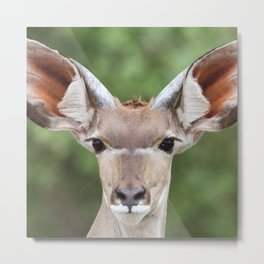 Face to face with a female Kudu | Travel photography Botswana | Fine art prints Metal Print