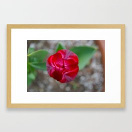 Tulip Tip 2 Framed Art Print