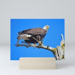 Alaskan Bald Eagle - Perched on tree limb Mini Art Print
