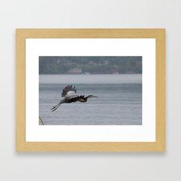 Great Blue Heron in Flight Framed Art Print