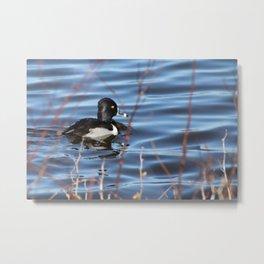 Ringneck Duck Metal Print