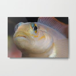 Goby Fish Staring Face Metal Print