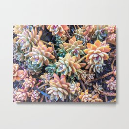 closeup green and pink succulent plant garden background Metal Print