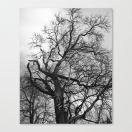 Old oak tree. Moscow district. Canvas Print
