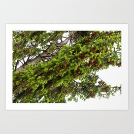 Large spruce fresh shoots Art Print