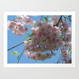 Cherry Blossoms and Sky Art Print