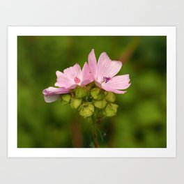 Prairie Mallow Flowers and Seed Pods Art Print