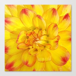 A Yellow Dahlia with Pink tips Close Up Detail Canvas Print