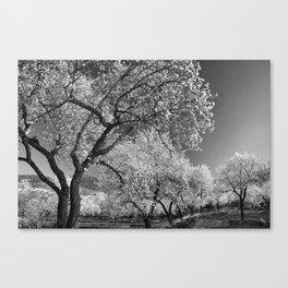 Flowering almond. BN Canvas Print