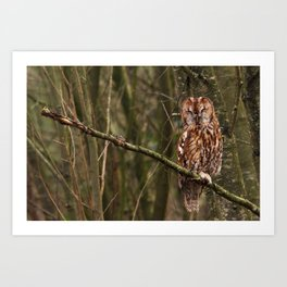 Sleepy Tawny Owl Art Print