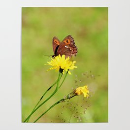 Arran Brown butterfly and yellow flower Poster
