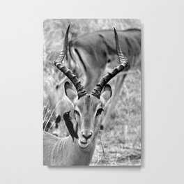 Impala: Bird on my face; Black and White Nature Photography from Africa Metal Print