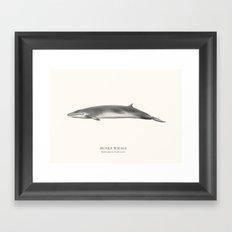 Minke Whale Framed Art Print