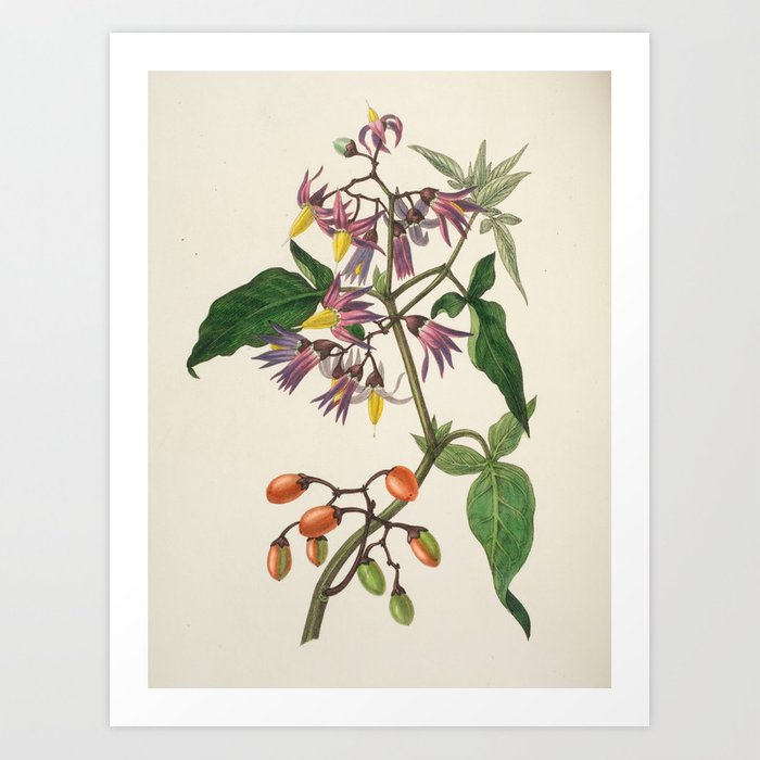 """Bittersweet from """"The Moral of Flowers"""" (1833) by Rebecca Hey Art Print"""