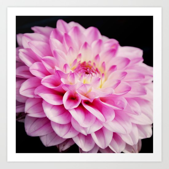 Close up pink dahlia Art Print