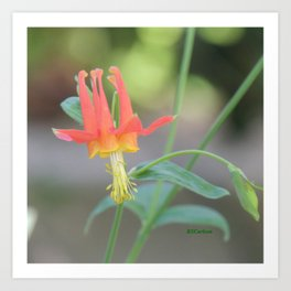 Pastel Columbine Afternoon Art Print
