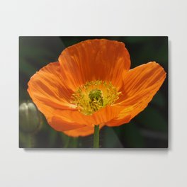 Orange Poppy Flower Metal Print