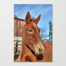 Clancy the Irish Mule Canvas Print