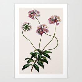 Primulaceae Art Print