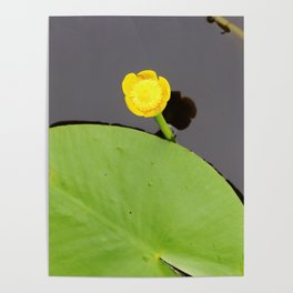 Yellow waterlily with lily pad Poster