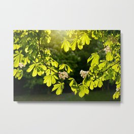 Flowering Aesculus horse chestnut foliage Metal Print
