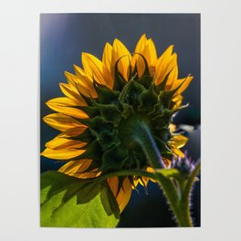 Backwards Sunflower Poster