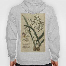 Encyclia viridiflora Curtis' 55 (N.S. 2) pl. 2831 (1828) Hoody