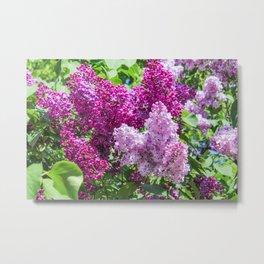 Fragrant lilac bush. Metal Print