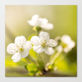 Beautiful cherry blossom on a vivid green background - summer atmosphere Canvas Print