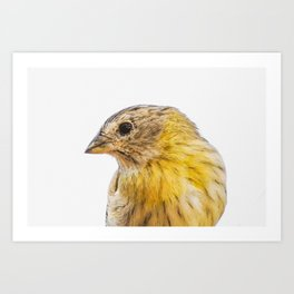 Sicalis Flaveola Bird Art Print