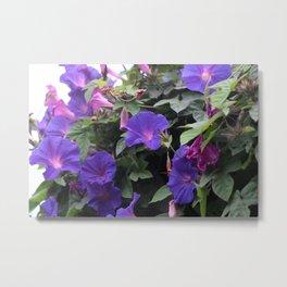 Spring Morning Glories in Blue Metal Print