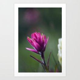 Pink Indian Paintbrush Art Print