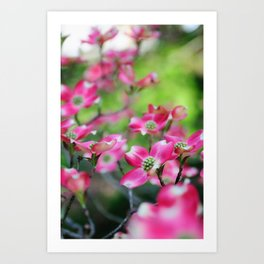 Pink Dogwood in the Spring Art Print