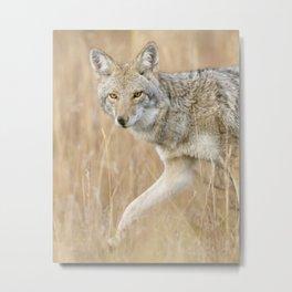 Mountain Coyote Metal Print