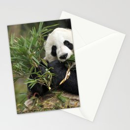 Magnificently Adorable Adult Panda Bear Eating Bamboo Leafs Close Up Ultra HD Stationery Cards