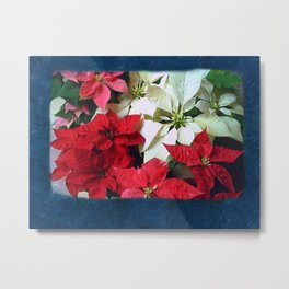 Mixed color Poinsettias 1 Blank P6F0 Metal Print