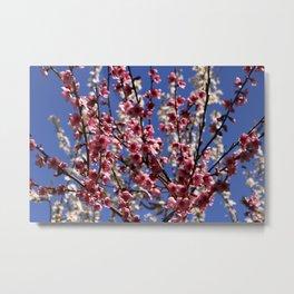 Spring Blossom on a Tree Metal Print