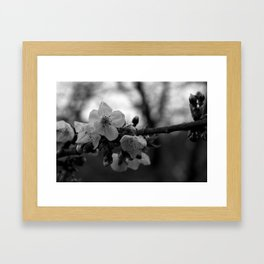 Monochromatic cherry blossoms on branch Framed Art Print