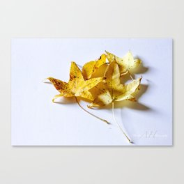 Yellow Maples Canvas Print