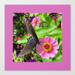 Butterfly on Zinnia with Border Canvas Print