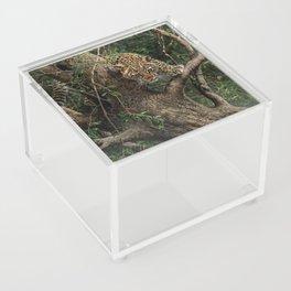 Amur Leopard Cub in Tree Acrylic Box